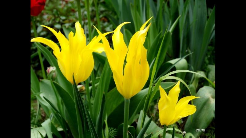 Чудесное весеннее настроение... Ion Suruceanu – Тюльпаны (Lalele)