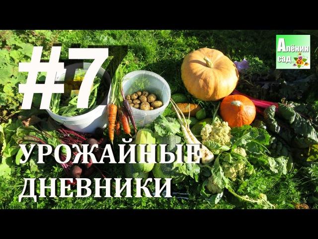 Урожайные дневники 7 09 09 16 🍓🌽🍅 Allotment diary harvesting 7