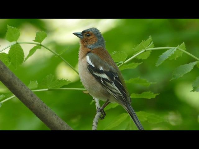 Пение зяблика. Голоса птиц. Common chaffinch song. AllVideo.