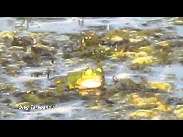 Квакание самца озёрной лягушки