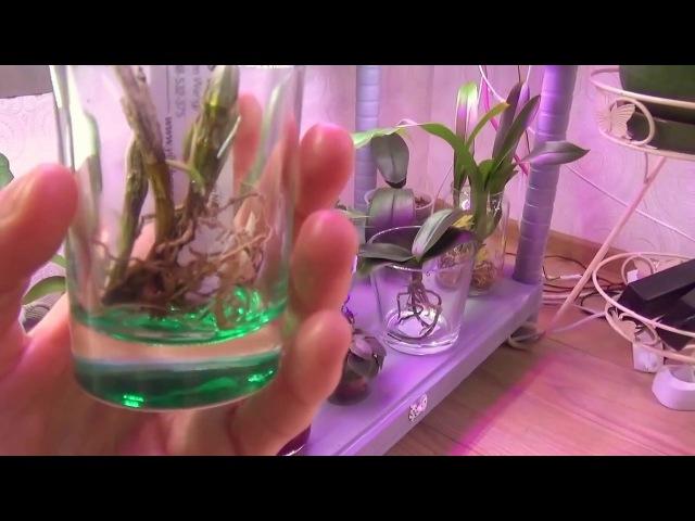 Часть 2 Ошибки при выращивании орхидей в воде и болезни как следствие