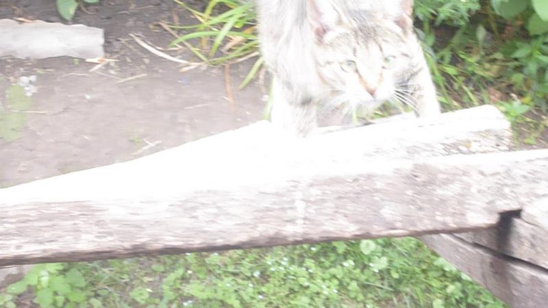 Кошка - рысь