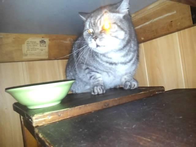Хрюкающий Бешеный Кот