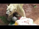 Inuka the polar bear enjoying its birthday ice cake