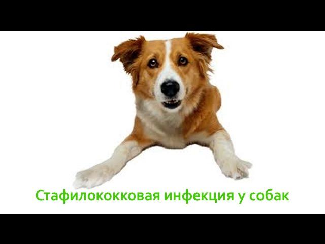 Стафилококковая инфекция у собак