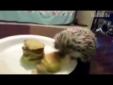 Жадный ежик, Greedy hedgehog