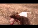 Gull terr VS Pitbull (Питбуль гулл терр собачьи бои) 18+