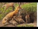 Урок 36 Природознавство 1 клас. Чим звірі відрізняються від інших тварин