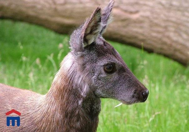 Природа Дальнего ВостокаКабарга- особый сибирский олень. Населяет та