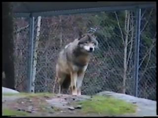 Схватка сотрудницы зоопарка с волком.