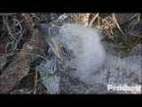 SWFL Eagles ~ Pin Feathers Emerging 1.18.17