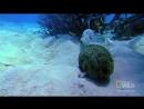 Странный способ защиты у морских огурцов