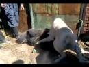 Собачьи бои банхар (монгольская овчарка) vs сао алабай [360]
