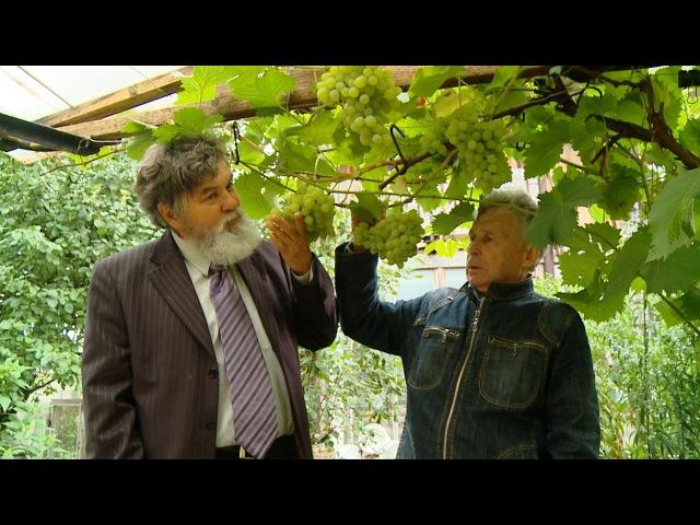 История татарстанского винограда