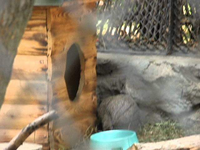 Котята манула и их няня домашняя кошка в Новосибирском Зоо. 23.08.2014. [Filipp Trialikov].