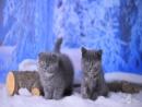 ПРОДАЕТСЯ Шотландская вислоухая кошка Айрис