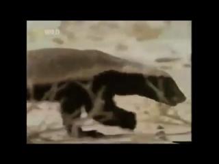 Медоеду похер (ЯСКиРЖ)