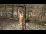 Львы в зоопарке Калининграда и баранья нога