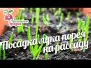 Посадка лука порея на рассаду urozhainye_gryadki