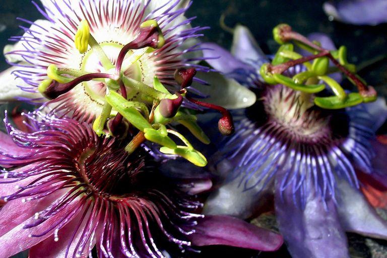 Как цветок страсти используется для лечения тревоги?