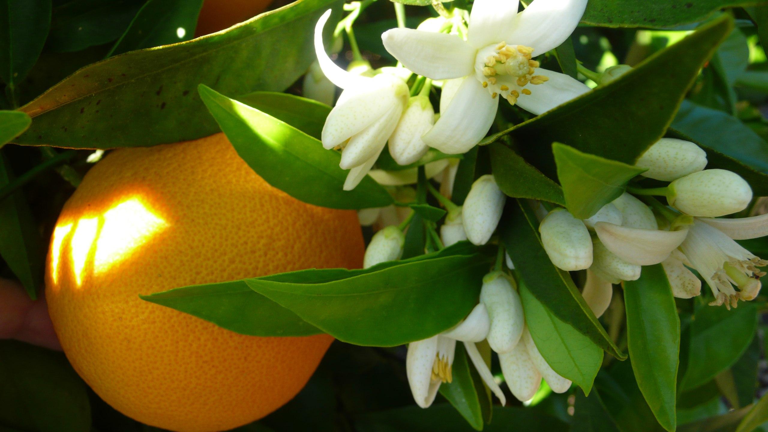 Польза для здоровья от эфирного масла Нероли ( Neroli )