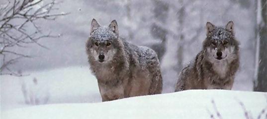 В Усть-Илимском районе растет популяция волков