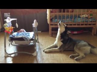 Хаска Дик успокаивает ребенка