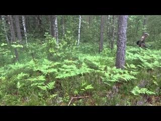 Охота с биглями http://vk.com/beagling