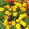 Цветы->фото->цветоводство->бархатцы. Цветочки ру