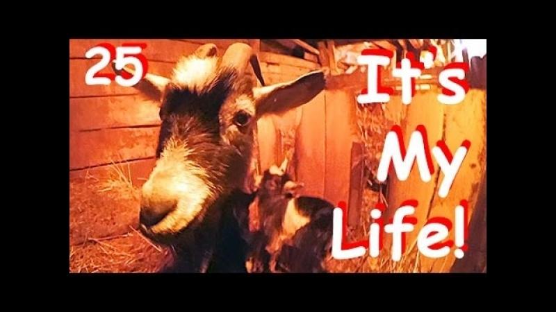 Чиччолина родила! РОДЫ У КОЗ. Это моя жизнь в деревне! It's My life,25