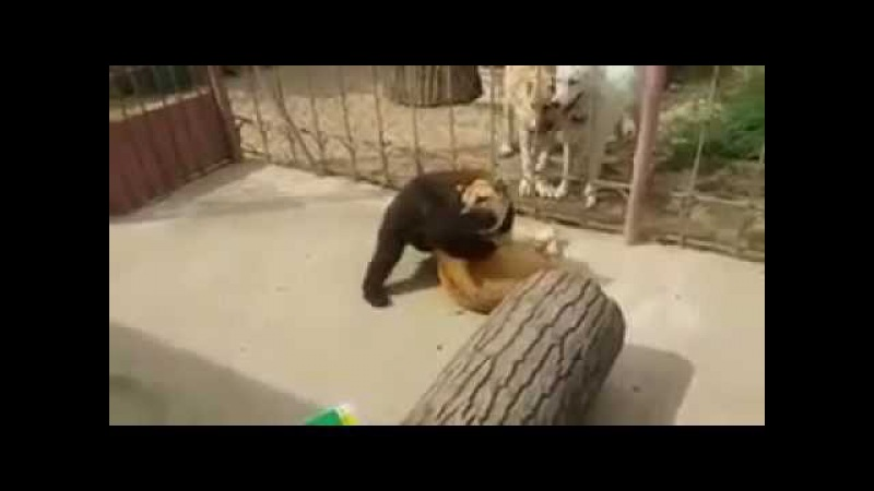 Схватка медведя и собаки