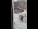 Собачьи бои ротвейлер vs сао алабай