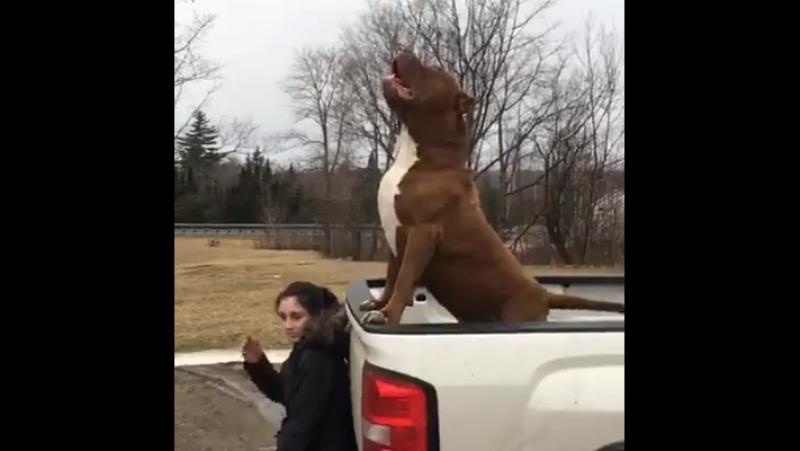 Халк (Hulk) во плоти собаки