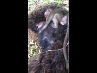 Baby Monkey loves dog