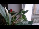 Цветет Антуриум(мужское счастье) и Спатифиллум (женское счастье)