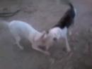 American bully VS bullterrier (американский булли, бультерьер, собачьи бои)