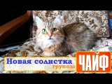 Кошка поёт песню гр.ЧАЙФ