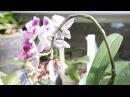 Орхидея Dtps.Fuller's Miss цветёт и радует.