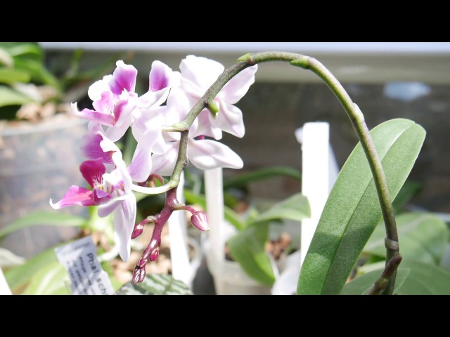 Орхидея Dtps.Fullers Miss цветёт и радует.