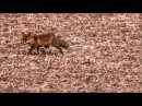 Foxes between geese / Vossen tussen ganzen ((Vulpes Vulpes)