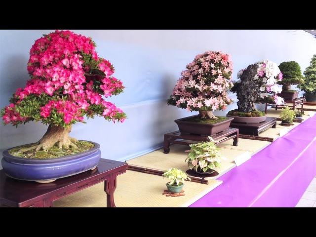 Satsuki Azalea Bonsai Exhibition at Ueno Park, Tokyo [iPhone 4SHD]