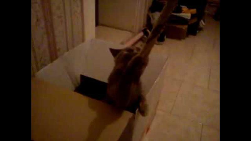 Scottish cat, Schotse kat, Scottish katt, Шотландская кошка, pisica scottish