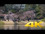 First Sakura at Koishikawa Korakuen Garden - Tokyo -