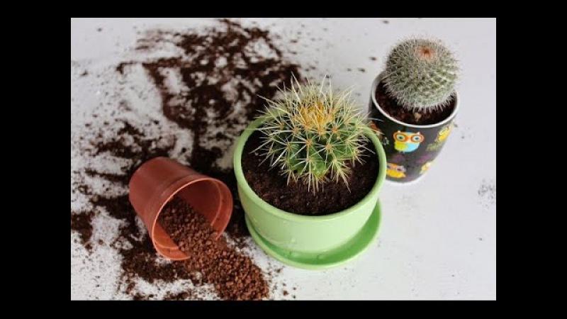 Как быстро и без проблем пересадить КАКТУС. Пересадка кактусов