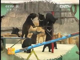 Гималайские медведи ''Сималая Сюн'' - Восточный Парк Медведей ''Дунфан Сюн Лэюань'', город Циндао, провинция Шаньдун.