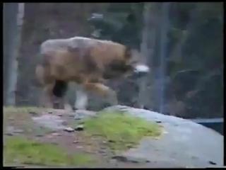 Баба в поставила волка на место
