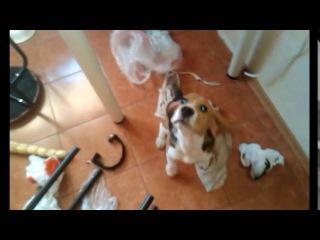 Бигль щенок(4МЕСЯЦА), остался дома. || Beagle puppy (4 months old), stayed at home.