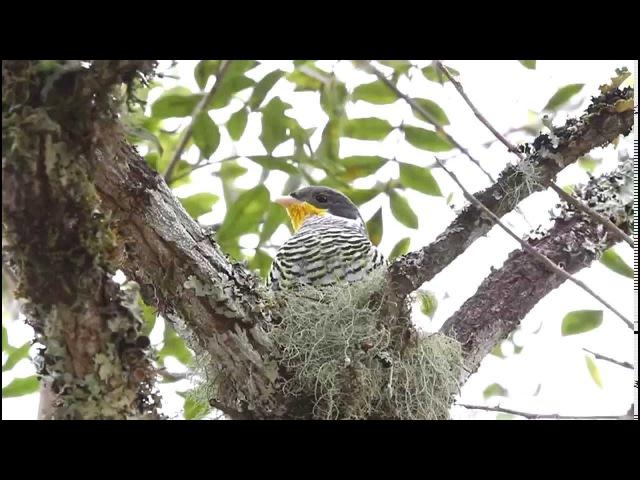 Swallow-tailed cotinga / Ласточковая котинга / Phibalura flavirostris