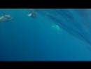 Dolphin with saiko