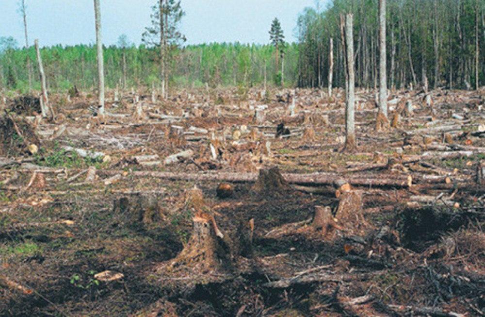 Как воруют русский лес